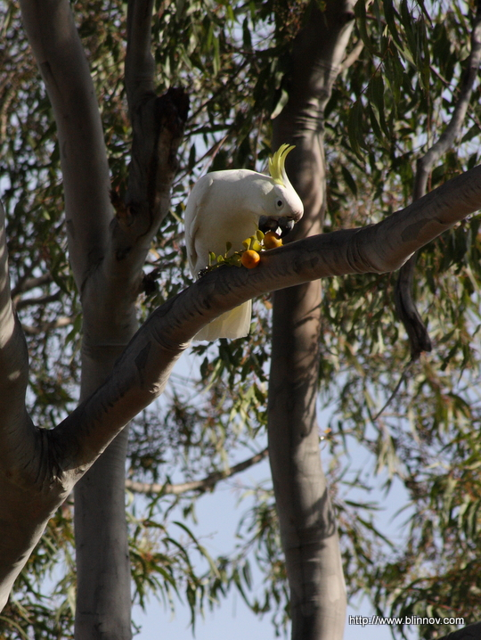 Cookatoo eating a mandarin on a gum tree